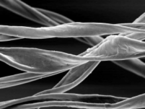 Microscopic image of cotton fibres.